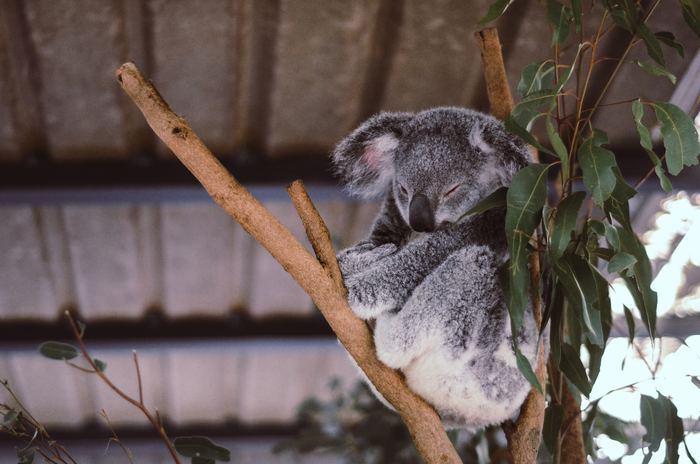 A Koala Bear, native to Australia