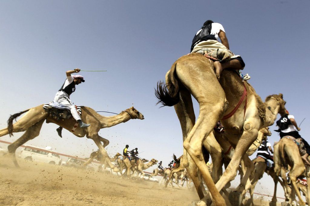 camel racing in Saudi desert