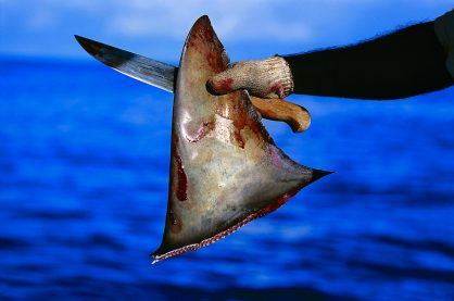Someone holding a knife and shark fin after attacking the animal