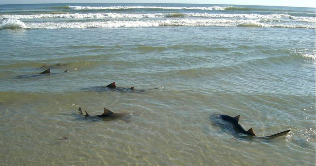Sharks swimming close to the shore