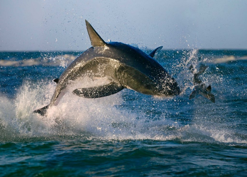 A shark leaping out of the water to attack a seal