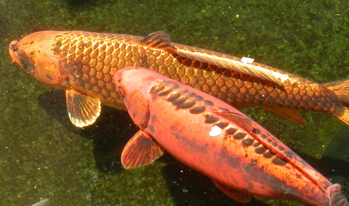 Carp swimming