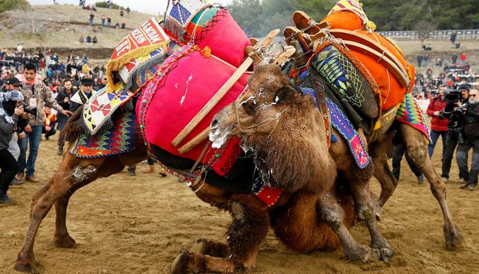 Camel Wrestling Festival