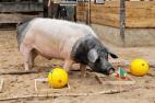 Orakel-Schwein Harry