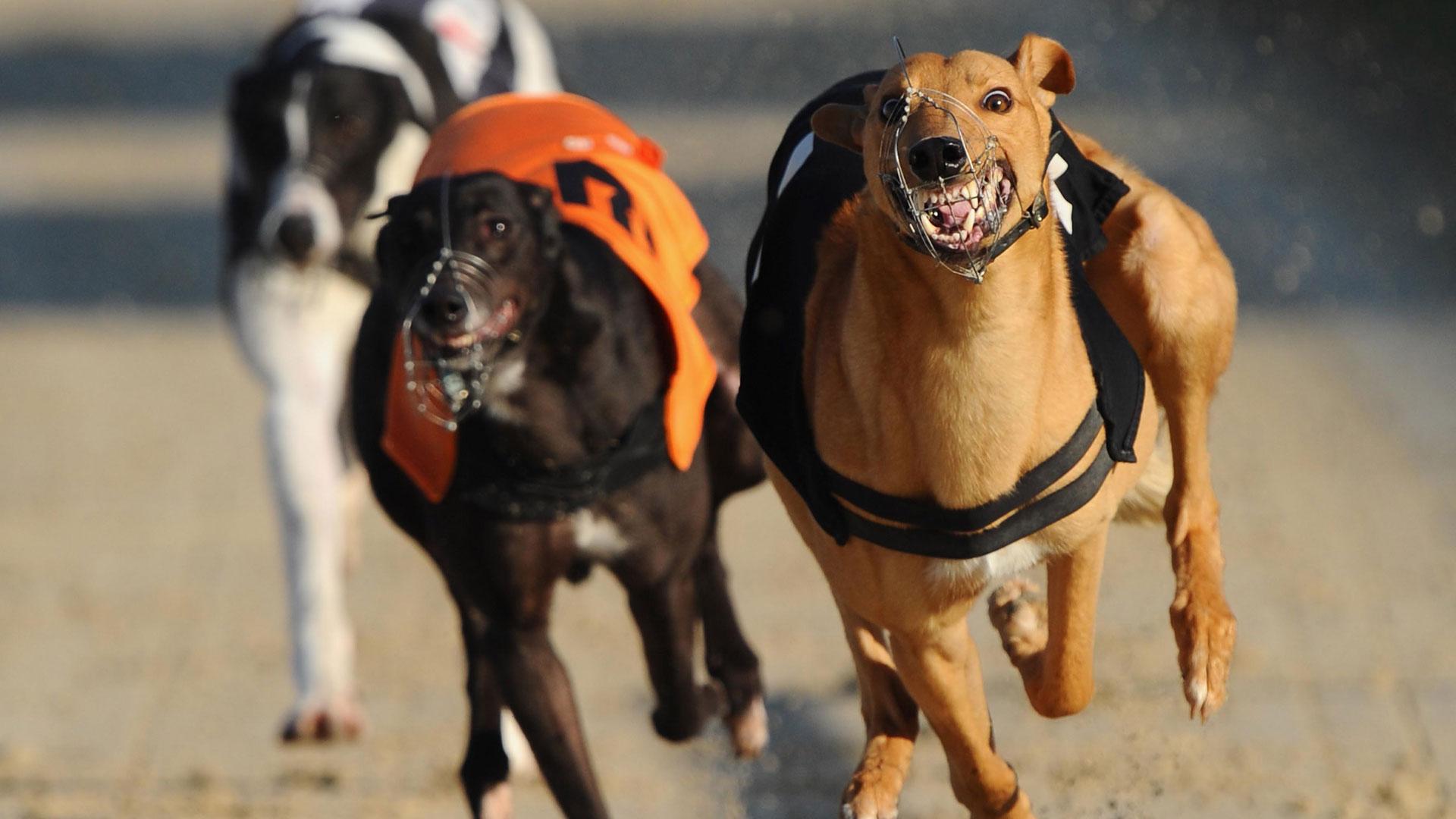 Greyhounds laufen im Macau Canidrome