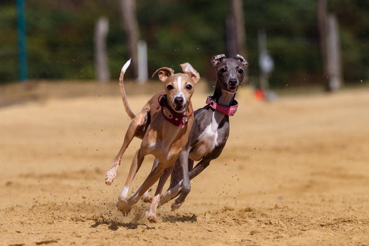 Windhund-Rennen, Windhunde
