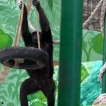 Russian Casino Chimp Mascot Successfully Rehabilitated at Safari Park