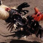 Cockfighting Farm Busted in Washington State