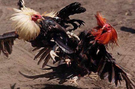 cockfighting Washington State