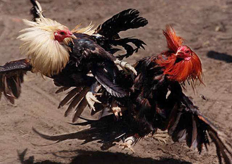 cockfighting Washington State