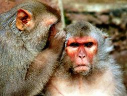 Rhesus monkey, monkey study, winning streaks