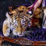 Russian Mega Resort Tigre de Cristal Faces Backlash Over Heavily Drugged Tiger Cub