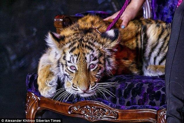 Tiger cub heavily sedated Tigre de Cristal Russia casino opening