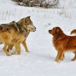 wolves dogs gamblers risk aversion