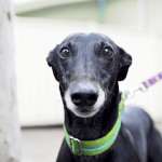 Florida Overwhelmingly Votes to Ban Greyhound Racing