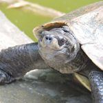 Endangered Turtle Species in  Small Canadian Town Could Determine Casino Project Outcome