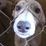 Florida Kennel Owner Bites Back with Lawsuit Against Greyhound Racing Ban