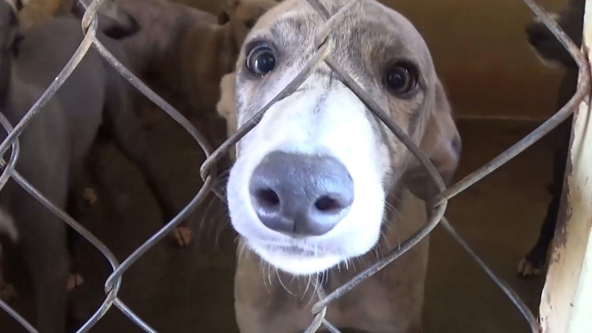 Florida greyhound