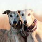 Florida Asks Federal Judge to Toss Legal Challenge to State Greyhound Racing Ban