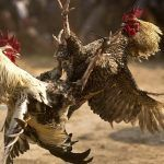 Clark County Officials Vow to Crack Down on Las Vegas Valley 'Cockfighting Problem'