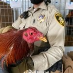 Las Vegas Police Rescue 300 Birds Groomed for Cockfighting, One Person Arrested
