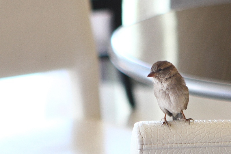 We're pretty sure Franklin is a House Sparrow. They're sexually dimorphic. We don't know what that is, but you go, Franklin.