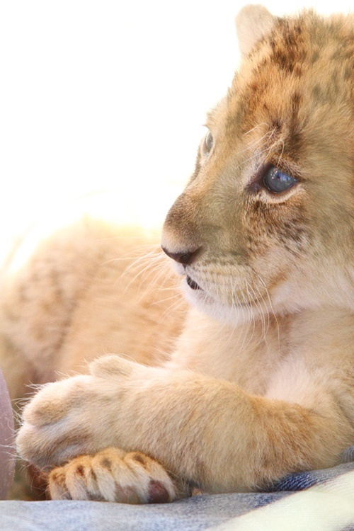 The lion cub version of chillaxing.