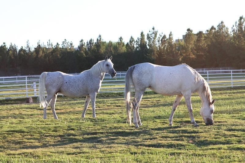 Wayne Newton Arabians