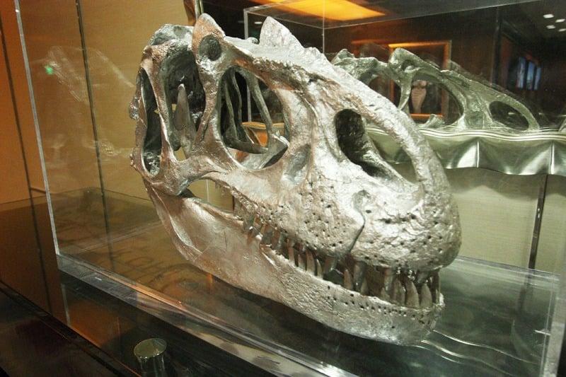 Cosmopolitan Tyrannosaurus rex skull